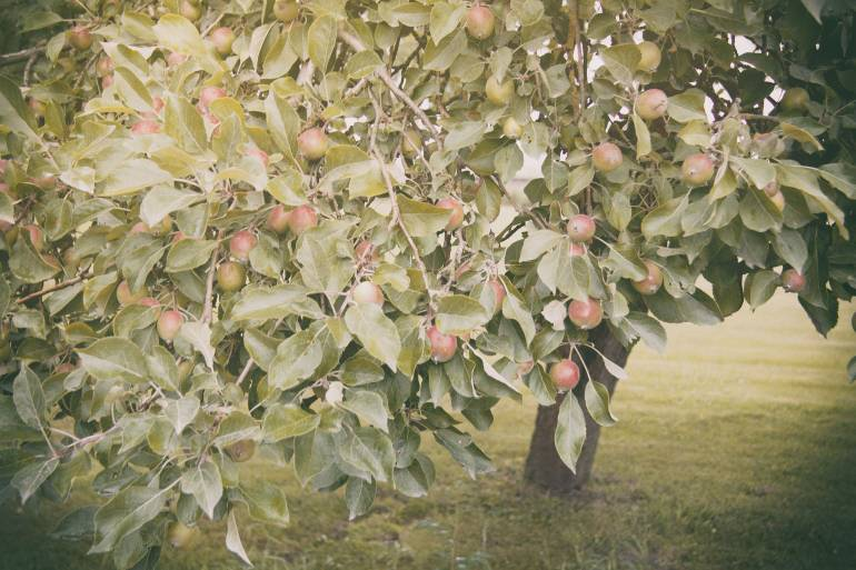 Young Apples On Tree