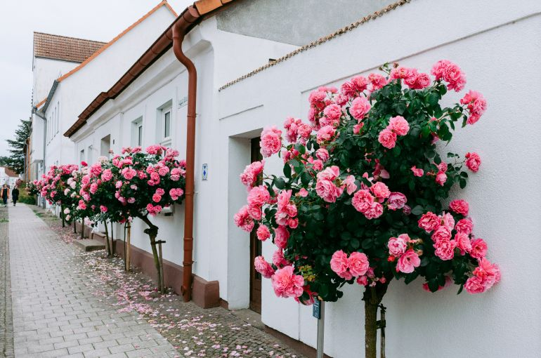 Roses against white walls