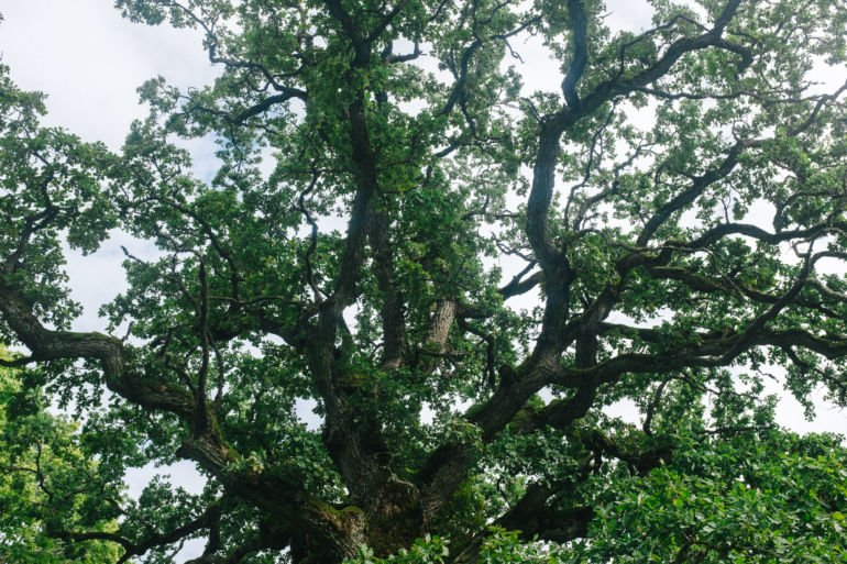 old beautiful oak