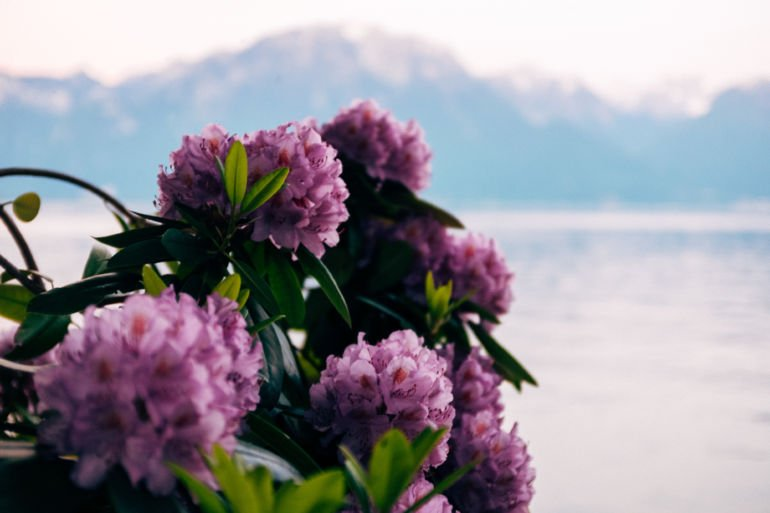 Flowers and Lake Geneva