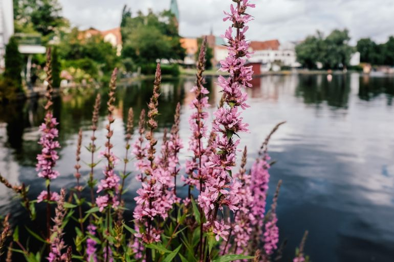 Pink flowers near the lake