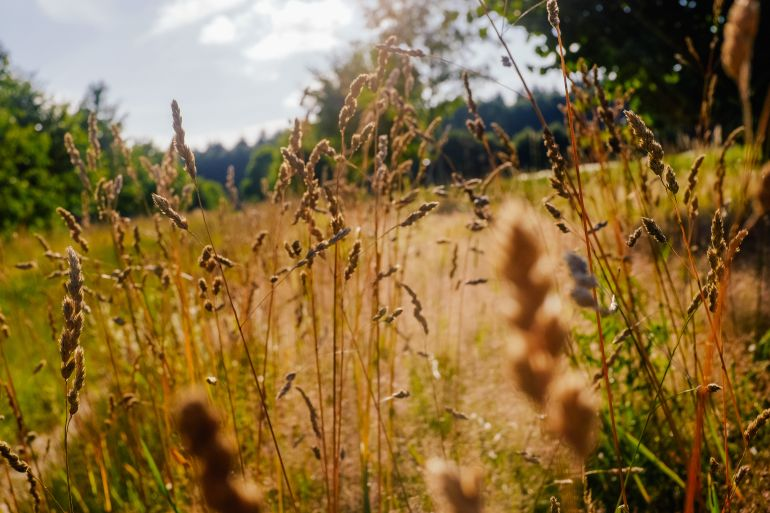 spikes in the summer field