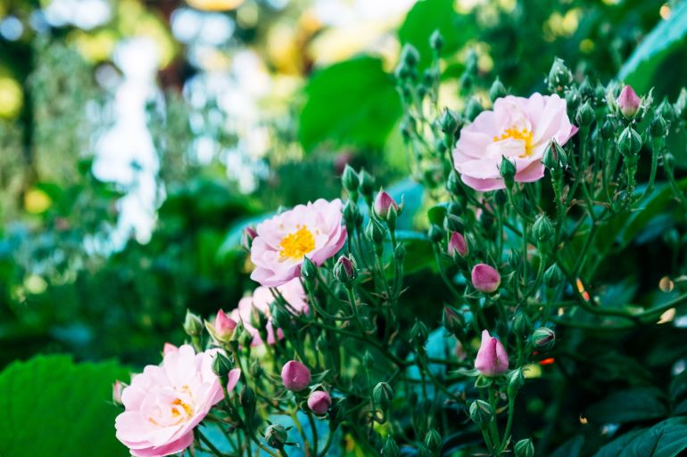 Young roses in garden