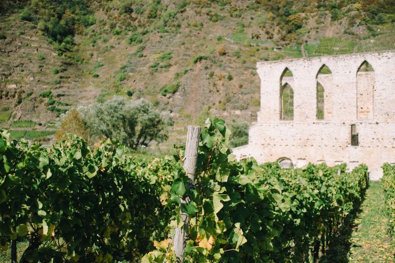 Wine grapes and ruins of Monastery Stuben in the Moselle Valley