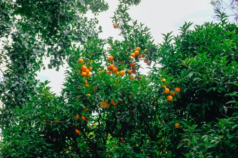 Orange fruits on an orange tree